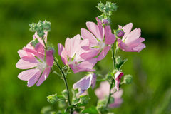 Purple pink meadow mallow flowers (Malva). Close up Royalty Free Stock Photo