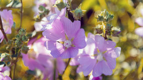 Purple pink meadow mallow flowers (Malva). Close up Stock Images