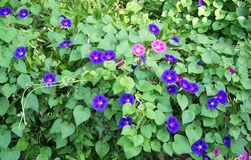 Purple and Pink Morning Glories Royalty Free Stock Photography