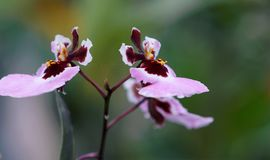 Purple-and-pink Moth Orchids Closeup Photo royalty free stock photos