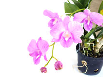 Purple pink orchid flowers with branch isolated on white background Stock Images