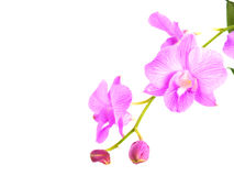 Purple pink orchid flowers with branch isolated on white background Royalty Free Stock Photography