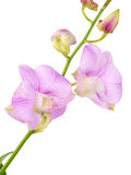 Purple pink orchid flowers with branch isolated on white background Stock Photos
