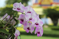 Purple and pink orchid Stock Image