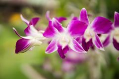 Purple with pink orchids on branch with  green leaf in the background. Stock Image