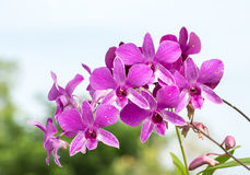 Purple pink orchids flowers Stock Photos