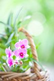 Purple and pink oriental orchid Royalty Free Stock Photo