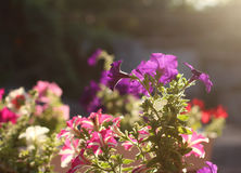 Purple and pink petunia flower on sunset background Stock Photos