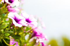 Purple and pink petunias in a hanging basket Royalty Free Stock Image