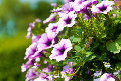 Purple and pink petunias in a hanging basket in summer Royalty Free Stock Photos