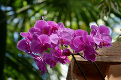 Purple pink Phalenopsis orchid blooms. A beautifull purple-pink orchid in bloom royalty free stock photos