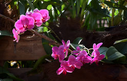 Purple pink Phalenopsis orchid blooms. A beautifull purple-pink orchid in bloom stock photography
