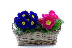 Purple and pink primrose in reed basket Stock Image