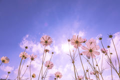 Purple, pink, red, cosmos flowers in the garden with blue sky and sunlight background Stock Photos