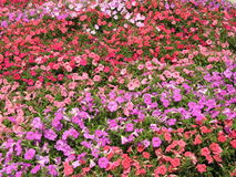 Purple, Pink, and Red Rainbow Flower Field Stock Image