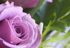Purple-pink rose. Closeup of a purple-pink rose covered in dew drops Royalty Free Stock Image