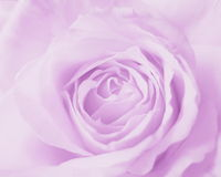 Purple Pink Rose Background - Stock Photos. Purple Pink Rose Background : Flower Mothers day or Valentines  card - pale background Royalty Free Stock Photo