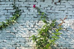 A purple or pink rose blooming in a garden against a white brick wall stock photo