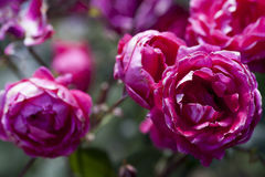 Purple pink rose closeup background Royalty Free Stock Photos