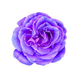 Purple Pink Rose Flower isolated on white Royalty Free Stock Photography