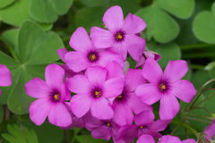 Purple pink spring flowers  of red woodsorrel Stock Images