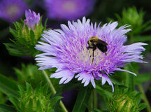 Purple pink Stokes Aster Stokesia laevis flower Stock Photos