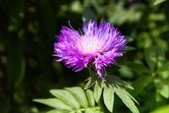Purple pink Stokes Aster Stokesia laevis flower stock photography