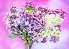 Purple, pink Syringa vulgaris (lilac or common lilac) flowers, close up, mauve background Royalty Free Stock Images
