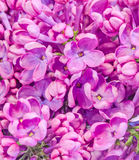 Purple, pink Syringa vulgaris (lilac or common lilac) flowers, close up, texture background Royalty Free Stock Photos
