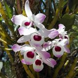 Purple and pink tree orchids in tree Stock Photo
