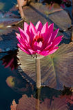 PURPLE PINK TROPICAL WATER LILY TOBAGO NATURE Royalty Free Stock Photos