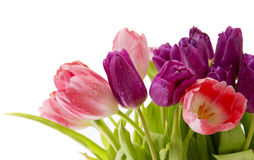 Purple and pink tulips bouquet isolated on white. Stock Photography