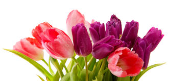 Purple and pink tulips bouquet isolated on white. Royalty Free Stock Photo