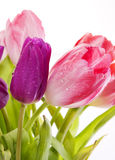Purple and pink tulips . Stock Photography