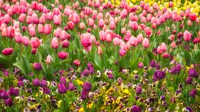 Purple and pink tulips in Canberra in Spring. Purple, pink and yellow tulips in spring and purple pansies at the Floriade Festival in Canberra, Australian Stock Photos