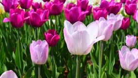 Purple and pink tulips flowers stock video footage