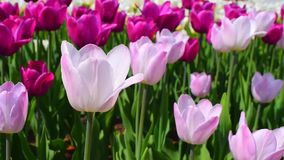 Purple and pink tulips flowers and wind stock video