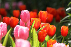 Purple/Pink tulips. Purple and Pink tulips, focus on closest one Stock Photo