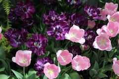 Purple and pink tulips in full bloom. Pastel pink and white tulips and deep purple tulips blooming in spring garden. Green leaves and ferns in the background Stock Photography