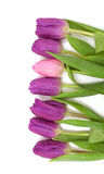 Purple and pink tulips in a row Stock Images