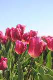 Purple pink tulips in the sunlight Royalty Free Stock Photo