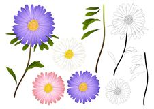 Purple, Pink and White Aster Flower Outline. isolated on White Background. Vector Illustration.  Stock Photos