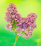 Purple, pink and white Syringa vulgaris (lilac or common lilac) flowers, close up, green background Stock Photos