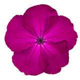 Purple Pinks Dianthus wild flower Isoalted on white Stock Image