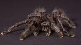 The Purple Pinktoe Tarantula Stock Image