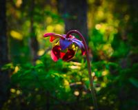 Purple Pitcher Plant, Sarracenia purpurea in Bemidji Minnesota. Purple Pitcher Plant, Sarracenia purpurea aka northern pitcher plant, turle socks or side-saddle royalty free stock photo