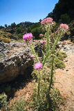 Purple plant in the cleft of Imbros Stock Photo