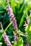 Purple plant flower in summer blowing in the wind. Green leaf royalty free stock photos