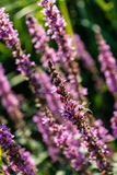 Purple plant flower in summer blowing in the wind. Green leaf Royalty Free Stock Images
