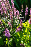 Purple plant flower in summer blowing in the wind. Green leaf Royalty Free Stock Photo